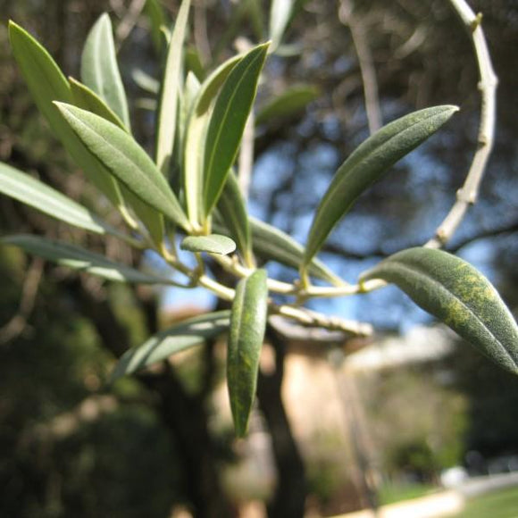 Fruitless Olive Tree Multi - C&J Gardening Center