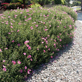 Orchid Rockrose - C&J Gardening Center