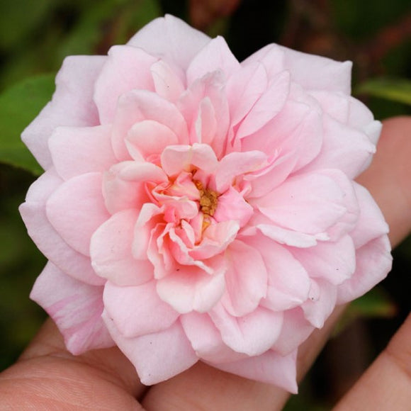 Pink Climbing Rose - C&J Gardening Center