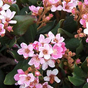 Pink Lady Indian Hawthorn - C&J Gardening Center