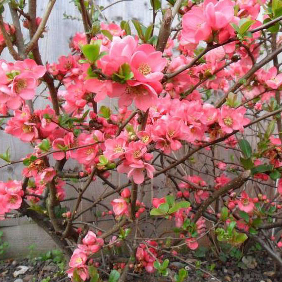 Pink Quince - C&J Gardening Center