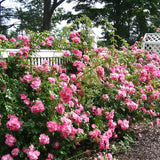 Pink Rose - C&J Gardening Center