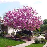 Lavender Trumpet Tree - C&J Gardening Center