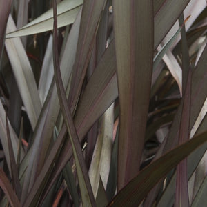 Platt's Black New Zealand Flax - C&J Gardening Center
