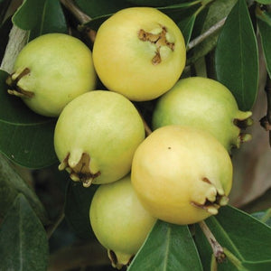 Yellow Lemon Guava - C&J Gardening Center