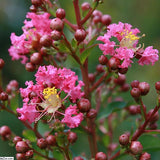 Red-Pink Crape Myrtle - C&J Gardening Center