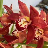Red Boat Orchid - C&J Gardening Center