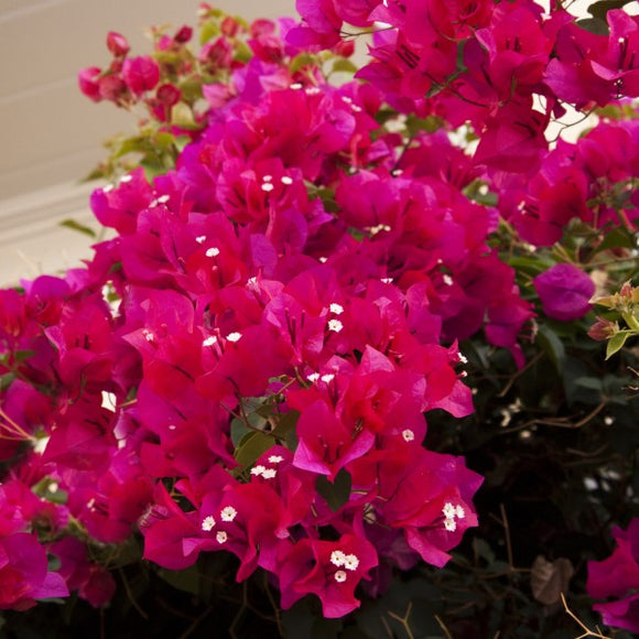 Red Shade Bougainvillea Vine