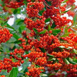 Red Berried Firethorn - C&J Gardening Center