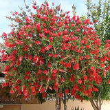 Bottlebrush Tree - C&J Gardening Center