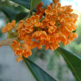 Red Osmanthus Fragrans