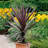 Red Star Dracaena - C&J Gardening Center