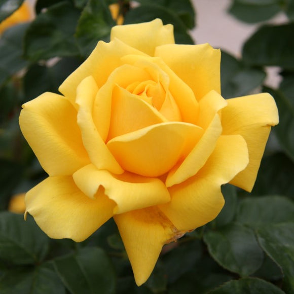 Yellow Rose Tree - C&J Gardening Center