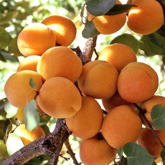 Blenheim Royal Apricot - C&J Gardening Center