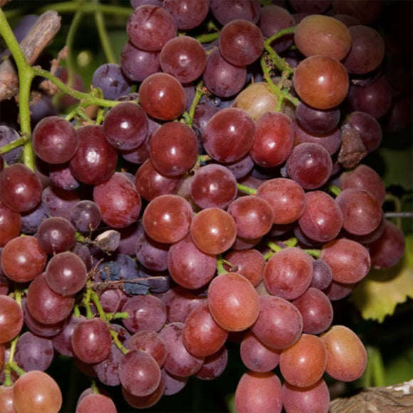 Ruby Seedless Grape - C&J Gardening Center