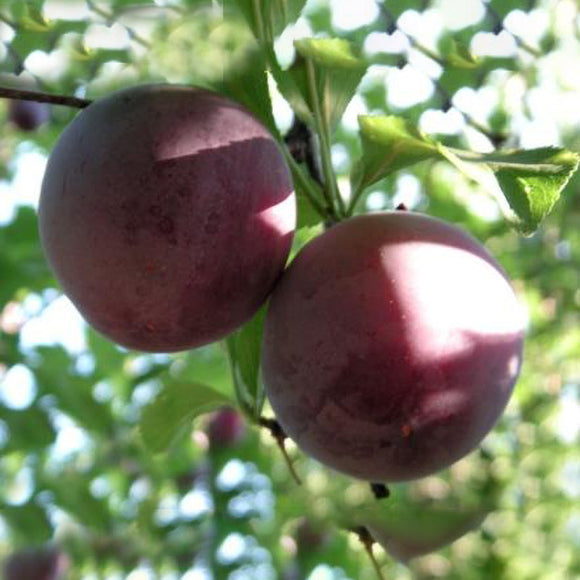 Santa Rosa Plum - C&J Gardening Center