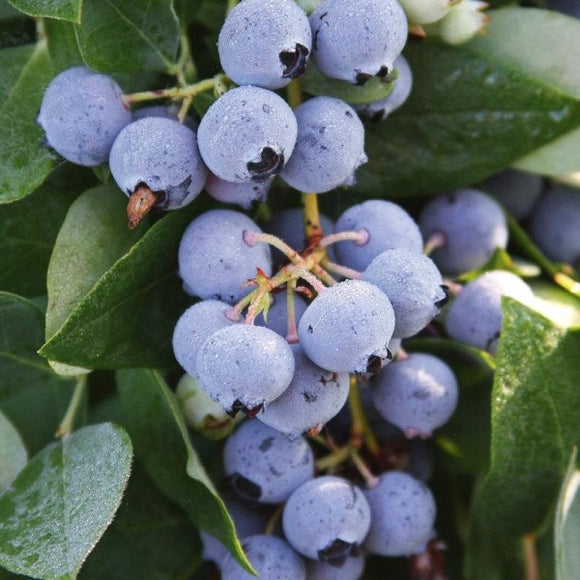 Sharpblue Blueberry - C&J Gardening Center