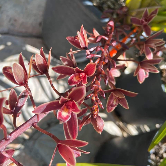 Small Flowered Red Boat Orchid - C&J Gardening Center