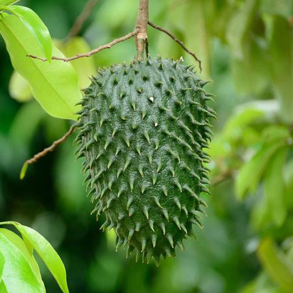 Soursop Annona - C&J Gardening Center