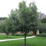 Southern Live Oak - C&J Gardening Center