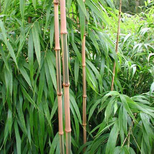 Square Bamboo - C&J Gardening Center
