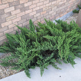Tam Juniper - C&J Gardening Center