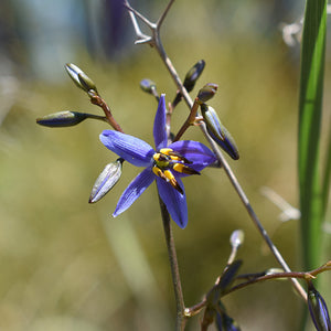 Tasred Flax Lily