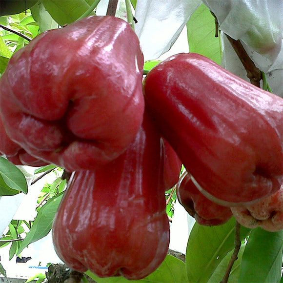 Thai Jumbo Wax Apple - C&J Gardening Center