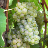 Thompson Seedless Grape - C&J Gardening Center