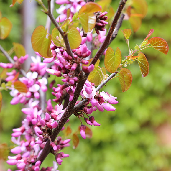 Western Redbud - C&J Gardening Center