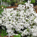 White Shade Azalea - C&J Gardening Center
