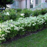 White Lily of the Nile - C&J Gardening Center