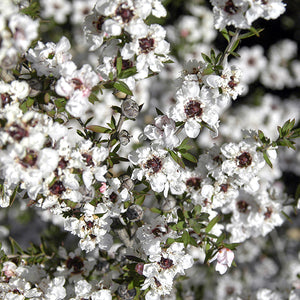 White New Zealand Tea Tree - C&J Gardening Center
