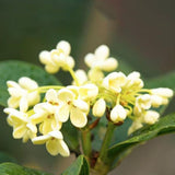 White Osmanthus Fragrans