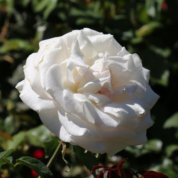 White Rose - C&J Gardening Center