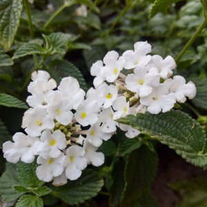 White Trailing Lantana - C&J Gardening Center