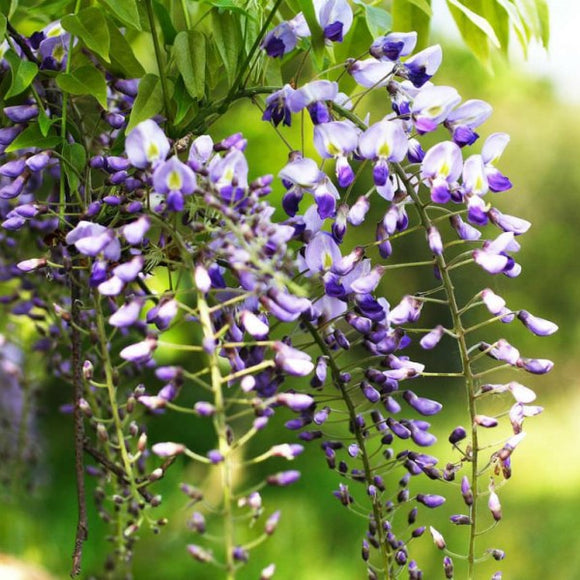 Japanese Wisteria - C&J Gardening Center