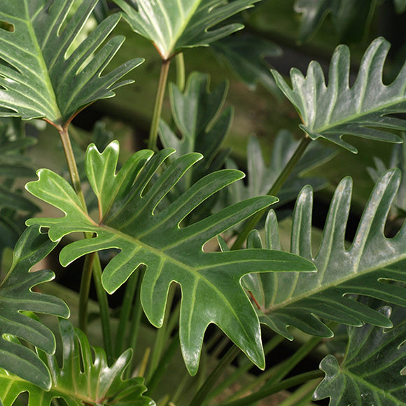 Xanadu Cut-Leaf Philodendron - C&J Gardening Center