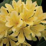 Yellow Kaffir Lily - C&J Gardening Center