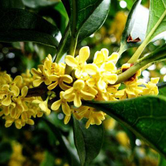 Yellow Osmanthus Fragrans