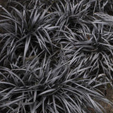 Black Mondo Grass - C&J Gardening Center