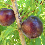 Burgundy plum - C&J Gardening Center