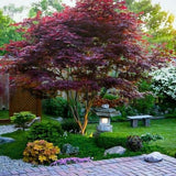Bloodgood Japanese Maple - C&J Gardening Center