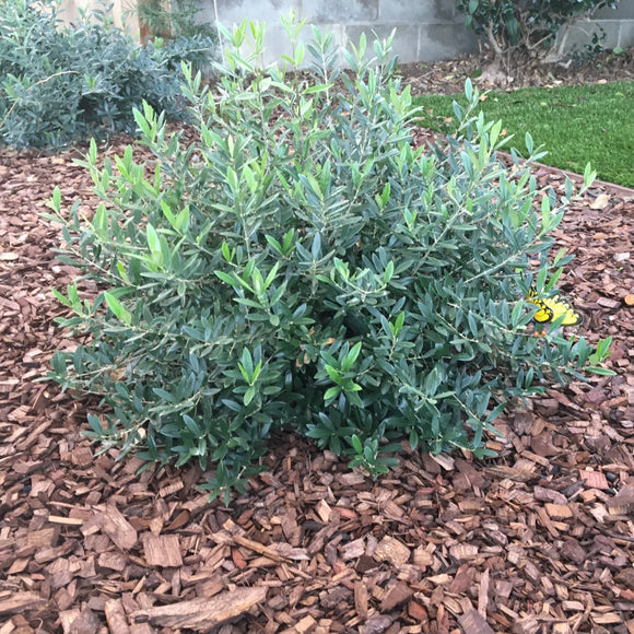 Fruitless Dwarf Olive