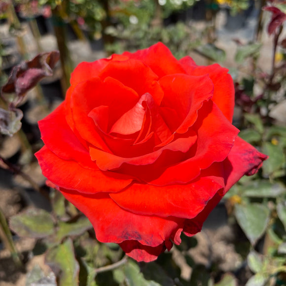 Chelis Dream Orange Red Rose Tree