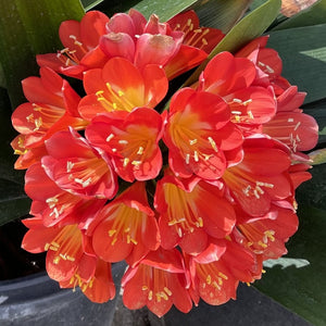 Belgian Orange Kaffir Lily