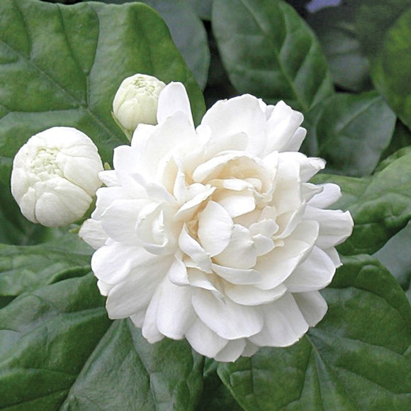 Grand Duke Arabian Jasmine - C&J Gardening Center