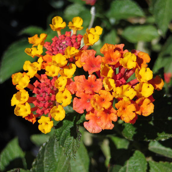 Orange-Red Bush Lantana - C&J Gardening Center