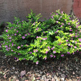 Mexican Heather - C&J Gardening Center