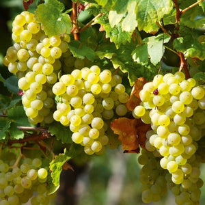 Perlette Seedless Grape - C&J Gardening Center